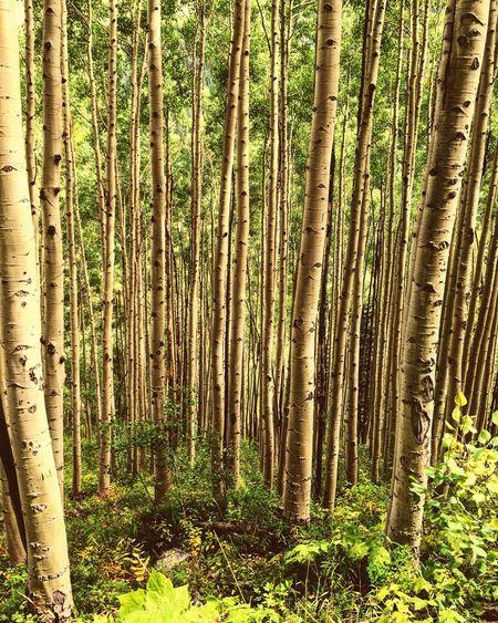 Nature Trees Hiking Maroonbells Aspen HDR
