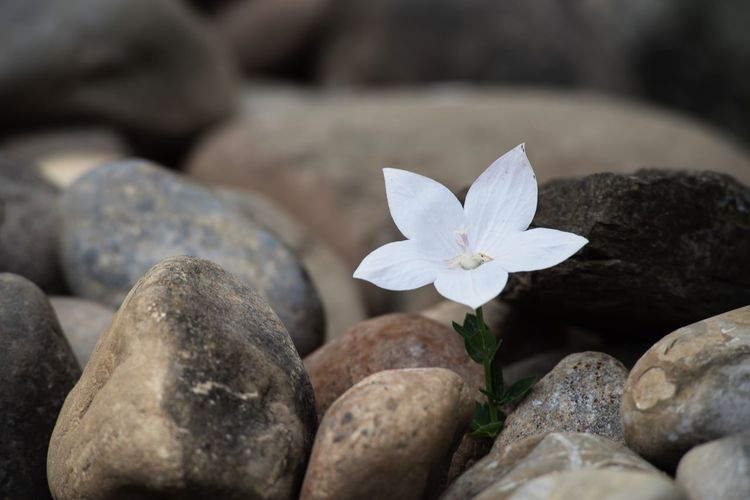White flower growing through stones