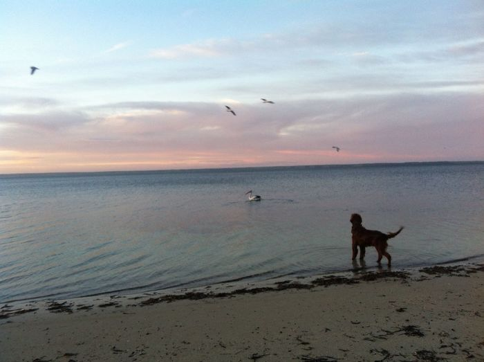 Beach Landscape Birds Dog