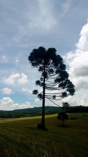 Pinheiro Campo Sky Nature