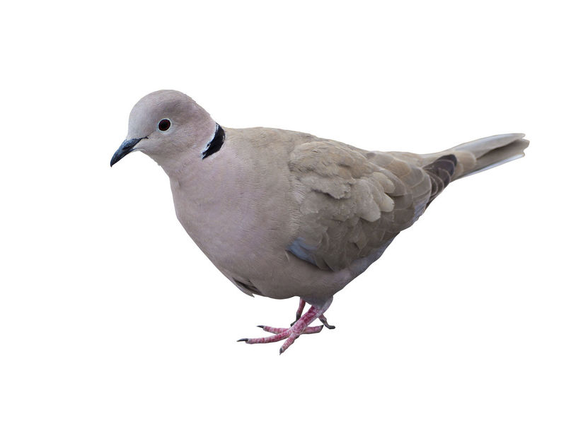 Isolated pigeon on a white background Animals Avian Bird Birdie Birds Close-up Closup Cut Outs Cute Day Dove Feather  Gray Group Isolated Isolated White Background No People One Animal Outdoors Pigeon Pigeon Bird  Pigeons Pigeons Everywhere Portrait White Background