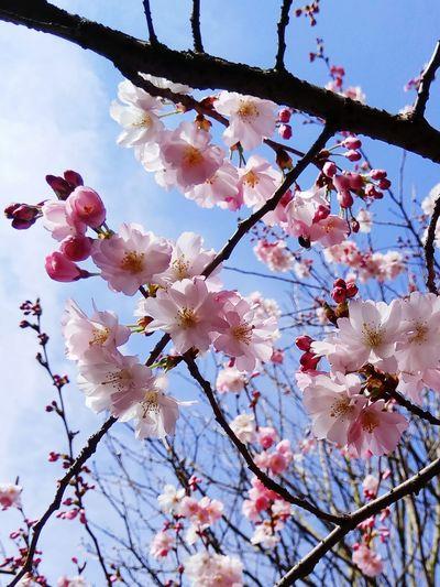 Flower Head Tree Flower Branch Springtime Backgrounds Plum Blossom Pink Color Petal Blossom Flower Tree Fruit Tree Pistil Cherry Tree In Bloom Plant Life Stamen Pollen Plum