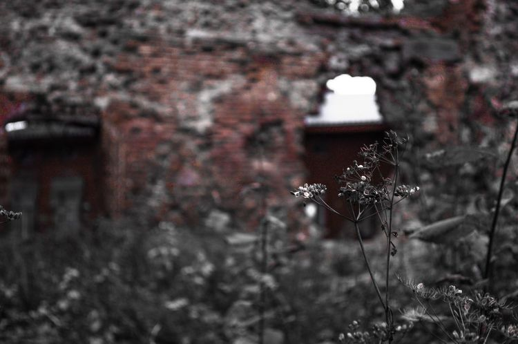 EyeEm Architecture Focus On Foreground No People Nature Brick Wall Brick Wall Focus Built Structure Saint Petersburg Spb Viipuri Viborg Wiburg Growth Plant Close-up Fragility Deterioration Obsolete Building Exterior Flower Day Damaged Outdoors In Front Of Weathered Freshness