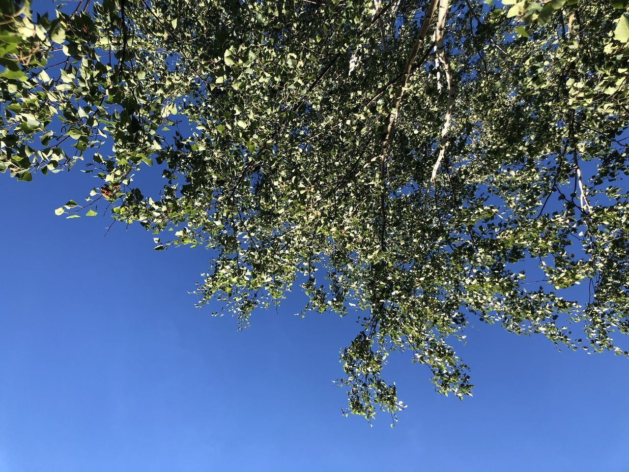 LOW ANGLE VIEW OF CHERRY TREE AGAINST CLEAR BLUE SKY