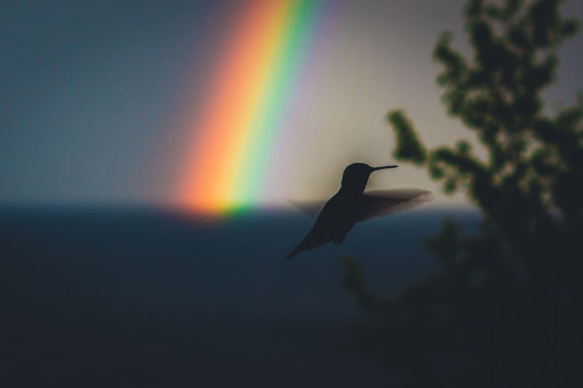 Animal Themes Animal Wildlife Animals In The Wild Beauty In Nature Bird Close-up Day Flying Focus On Foreground Mid-air Nature No People One Animal Outdoors Rainbow Rainbow Colors Rainbow Sky Silhouette Sky Spread Wings Sunset Water