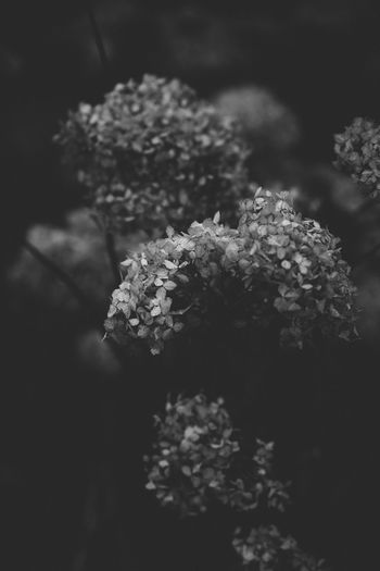Dark Soft Black And White Close-up Flower Flower Head Fragility Growth Hazy  Nature Night No People Plant Shadowy Softness