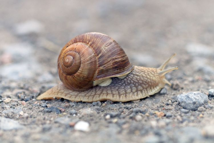 Animal Animal Themes Animal Wildlife One Animal Close-up Selective Focus Animals In The Wild Nature Snail Animal Lover Bokeh Macro Photography Animal Photography Nature Photography Naturelovers EyeEm Nature Lover EyeEm Gallery Eye4photography  Beautiful Nature Natural Beauty Scenics - Nature Beauty In Ordinary Things Snapshot Walking Around Taking Pictures Animal Antenna Animal Shell Crawling Shell Mollusk Gastropod Side View Stones