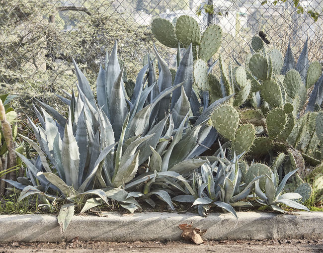 Roadside cacti and agave plants. Cacti Green Los Angeles, California Muted Colours Roadside America Silver Lake Agave Plant Beauty In Nature Border Cactus Close-up Day Green Color Grey Growth Leaf Muted Colors Nature No People Outdoors Painful Plant Warm