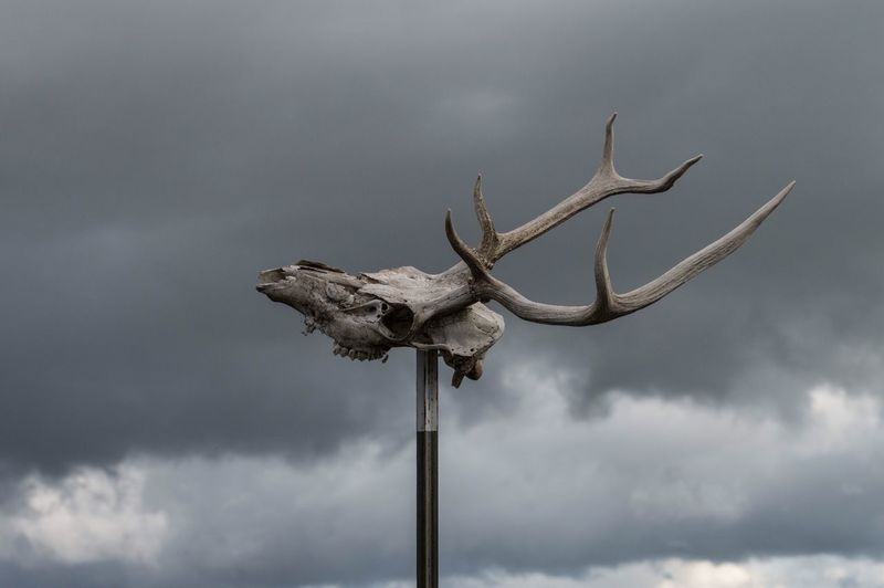 Low Angle View Sky Cloud - Sky No People Animal Themes Antler Nature Field Elk Beauty In Nature Animal Skull Animal Bone Focus On Foreground Animals In The Wild Oregon