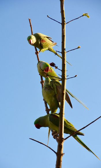 Birds_collection Alexandran Parakeet Parakeet Bird Photography Urban Nature Animal Photography Nature Photography