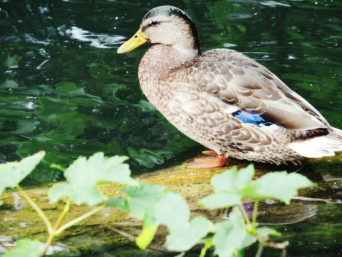 Ducks Duck Pond Taking Photos EyeEm Birds Bird Photography Birdwatching Birds_collection Wildlife Nature_collection Nature Photography