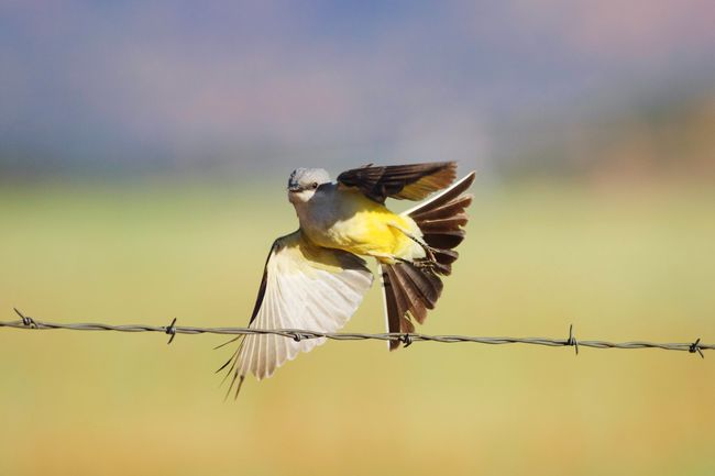 Taking flight Animals In The Wild Spread Wings Western Kingbird Kingbird Animals Outdoors Utah Yellow Bird Nature Animal Themes No People Animal Wildlife One Animal Bird Wings Flying Taking Flight Barbed Wire