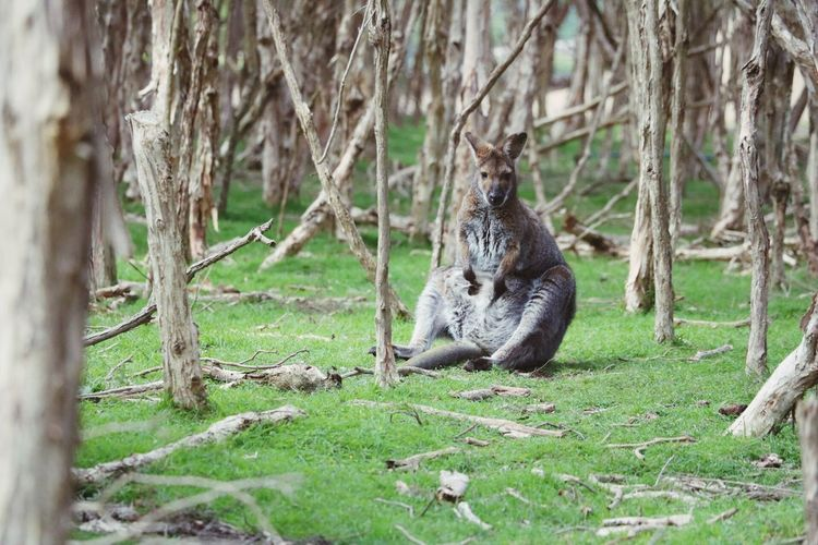Portrait of an kangaroo amid tree trunks