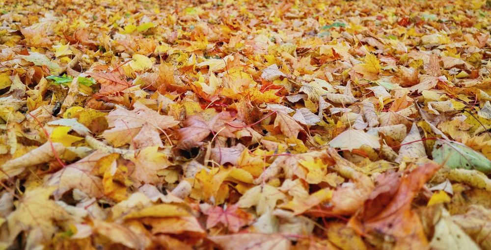 Landscape Landscape_Collection Landscape_photography Close-up Autumn Leaves Autumn colors Yellow Maple Leaf Autumn Maple Leaf Backgrounds Change Field Dry Leaves Full Frame Fallen Fallen Leaf Leaf Vein Natural Condition Natural Pattern Fall