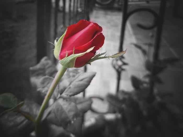 EyeEm Best Shots EyeEm Selects EyeEm Gallery EyeEm Red Rose Rose - Flower Flower Head Flower Red Petal Rose - Flower Leaf Close-up Plant Bud Plant Life Blooming Blossom New Life