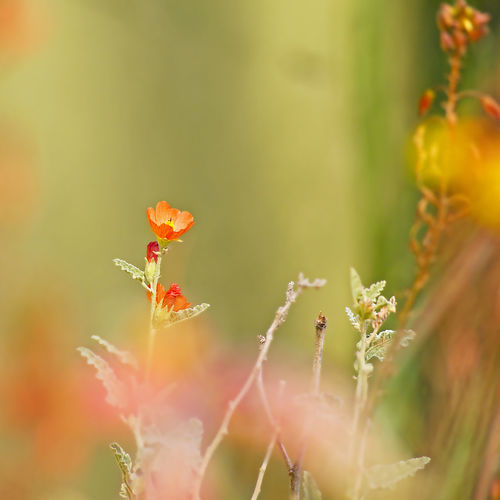 I am back! Apricot Color Beauty In Nature Botany Close-up Flowering Plant Mallow No People Selective Focus Tranquility