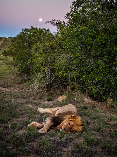 Lion sleeping during sunset Scotia Safaris, South Africa Animal Themes Animals In The Wild Day Grass Lion Lying Down Mammal Moon Nature No People One Animal Outdoors Relaxation Sleeping Sunset Tree The Great Outdoors - 2017 EyeEm Awards