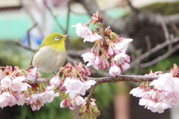メジロ 桜 熱海桜 糸川遊歩道