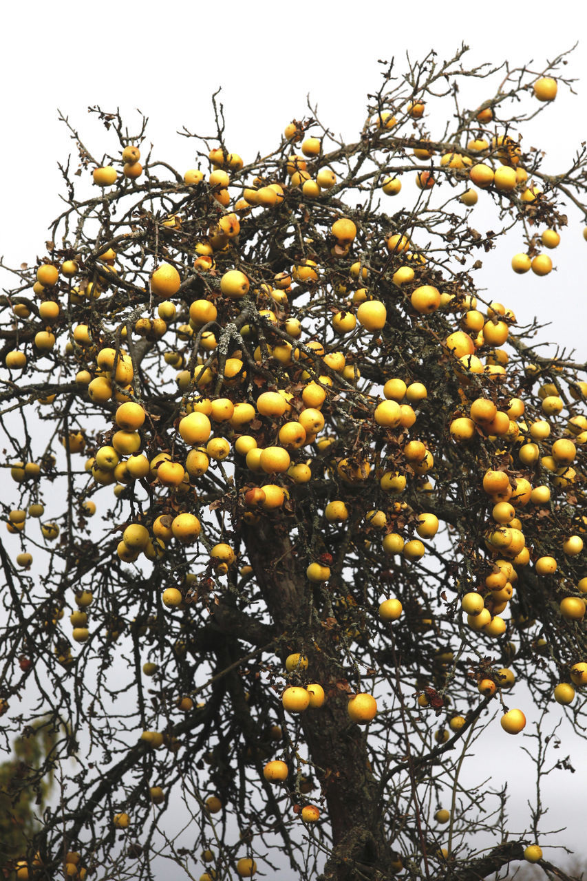 fruit, growth, low angle view, food and drink, tree, food, freshness, no people, nature, beauty in nature, yellow, day, healthy eating, outdoors, branch, clear sky, sky, close-up