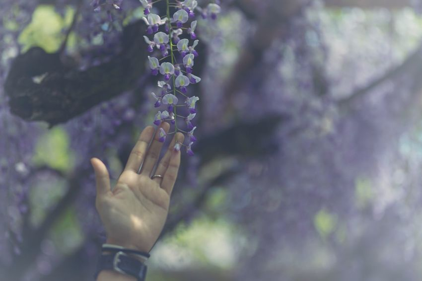 Capture The Moment Fantasy Purple Flower Wisteria Selective Focus Human Hand Human Body Part People One Person Only Women Fragility Nature Outdoors Depth Of Field Tranquil Scene Fantastic Fine Art Shine Bright Uzuki Of The Flower Snapshots Of Life Full Frame Detail Sigma 17_05 The Portraitist - 2017 EyeEm Awards EyeEmNewHere