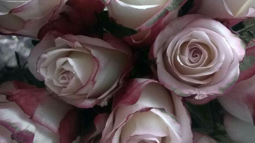 Roses Refocus Flowers Pink Rose Artistic Flowers In Bloom In Bloom Creative Power