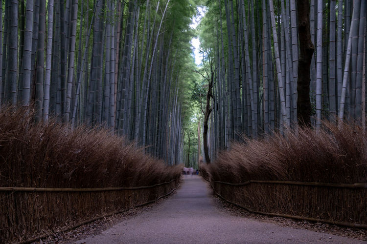 Footpath amidst  bamboo forest