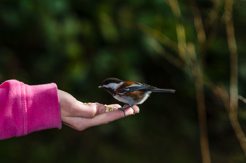 Bird in Hand Adult Animal Wildlife Animals In The Wild Bird Bird In Hand Close-up Day Feeding  Horizontal Human Body Part Living Organism Nature One Animal One Person Outdoors People Perching Person