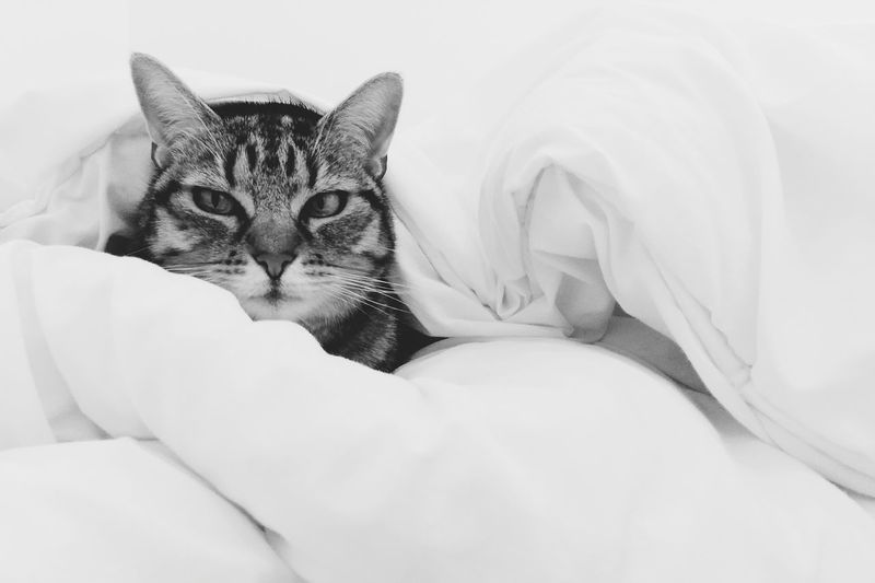 Portrait of cat on bed at home