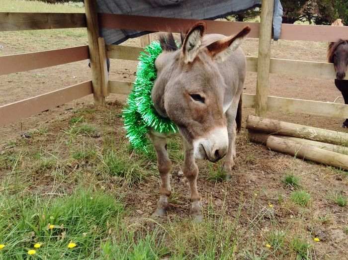 Buddy Christmas Donkey