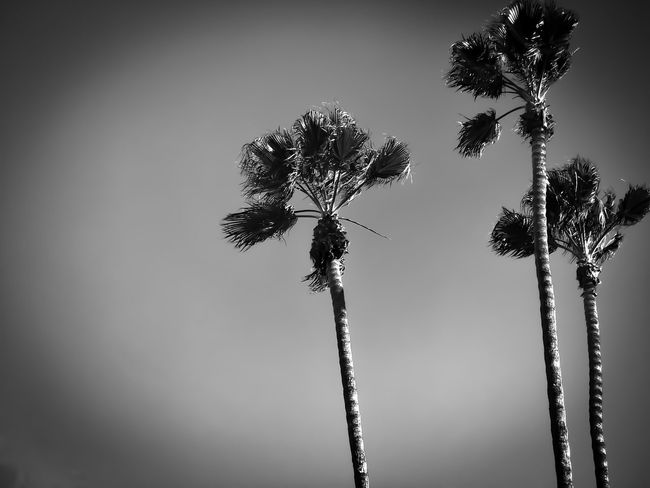 Trees Growth Nature Low Angle View No People Beauty In Nature Plant Close-up Fragility Outdoors Day Sky City Urban Black And White Monochrome Sherman Oaks Westside IPhone 7 Plus Lgarciaphoto Iphonephotography IPhone Photography Shot On IPhone (null)Iphoneonly IPhoneography