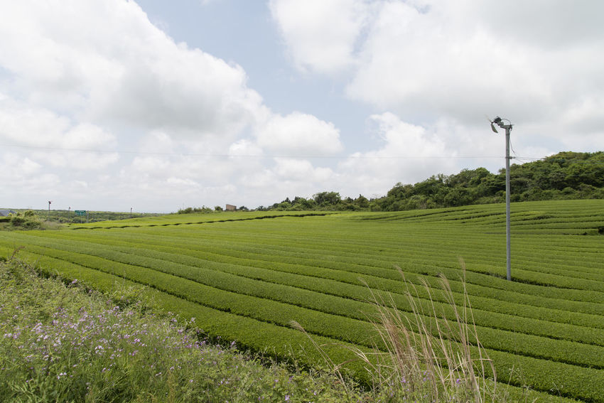 landscape of green tea field at Osulloc in Jeju Isand, South Korea Agriculture Beauty In Nature Cloud - Sky Day Field Green Color Green Tea Field Growth JEJU ISLAND  Landscape Nature No People Osulloc Outdoors Rural Scene Scenics Sky Tranquil Scene Tranquility Tree