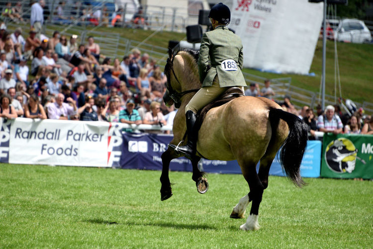 Horse classes at the Royal Welsh Show 2017 Horses Domestic Animals Equestrian Equine Equine Photography Equinephotography Equines Equines Of Eye Em Horse Horse Photography  Horse Riding Outdoors Royalwelshshow