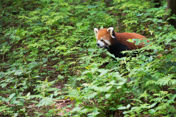 Red panda on grass
