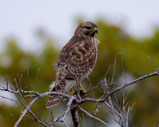 Animal Themes Animal Wildlife Animals In The Wild Beauty In Nature Bird Bird Of Prey Close-up Day Focus On Foreground Hawk Nature No People One Animal Outdoors Perching Raptor