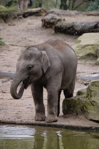 Elephant calf at lakeshore