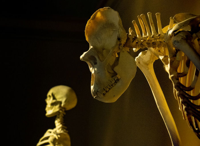 Human and monkey skeleton in museum