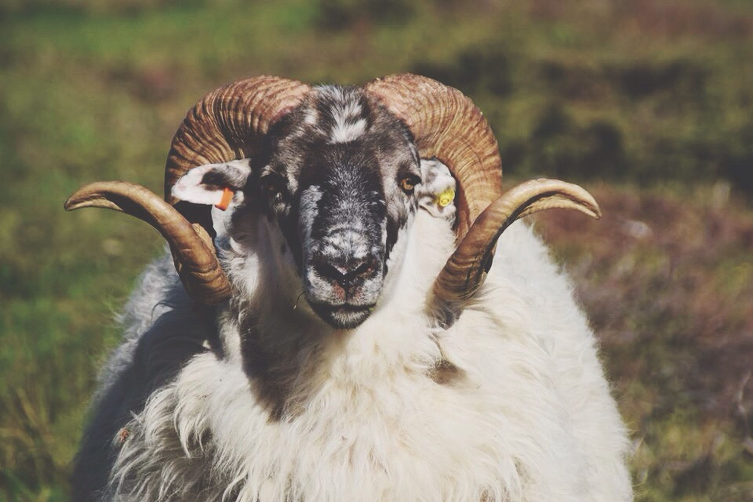animal themes, one animal, mammal, animals in the wild, wildlife, focus on foreground, field, domestic animals, close-up, animal head, two animals, animal body part, outdoors, nature, young animal, day, portrait, animal hair, zoology, livestock