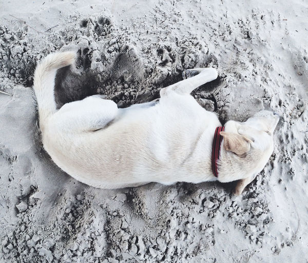 Directly Above Shot Of Dog Relaxing On Beach