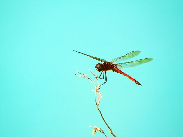 Low angle view of dragonfly on twig against clear sky
