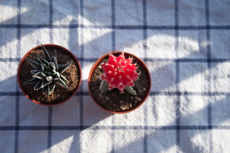 Mini cactus, 1 of 2 | Cactus Cactus Flower Close-up Decoration Freshness Garden Geometric Shape Grafted Cactus Haworthia Home Home Interior Interior Design Mini Cactus Pink Color Red Squares Still Life Summer The OO Mission Yoga Calm Zen Fine Art Photography
