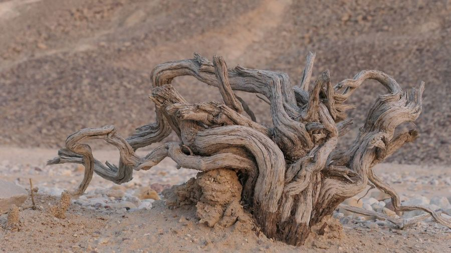 Dried Tree Tree No People Focus On Foreground Day Sunlight Nature Outdoors Sand Land Desert Close-up Travel
