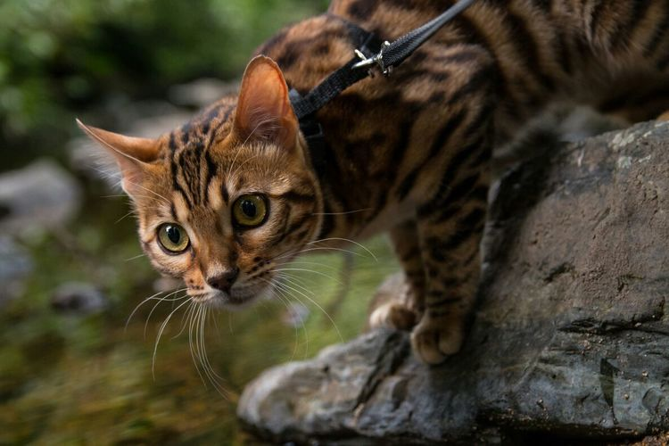 We were in the park.. Bengal Cat Urban Wildlife Gorgeous Pet Walking The Cat