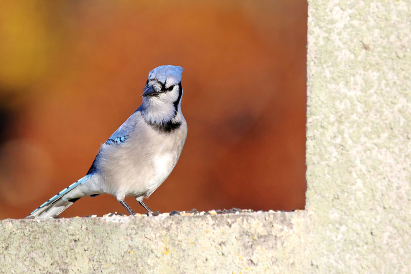 Close-up of blue jay perching on retaining wall