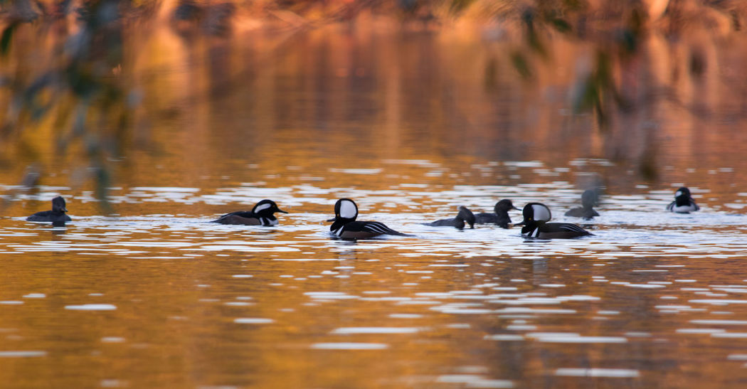Hooded Merganser Animals In The Wild Animal Wildlife Nature Animal Themes Beauty In Nature Reflection Animals In The Wild Wildlife & Nature Wildlife Photography Beautiful Nature Natural Beauty Waterfront Squirrel Wildlife Autumn Colors