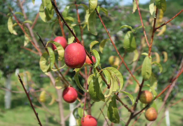 Nectarine in a tree Nectarine Nectarines Beauty In Nature Branch Close-up Food Food And Drink Freshness Fruit Fruits Garden Growth Nature No People Organic Organic Food Outdoors Peach Peaches Peaches🍑 Plant Plant Part Red Ripe Tree