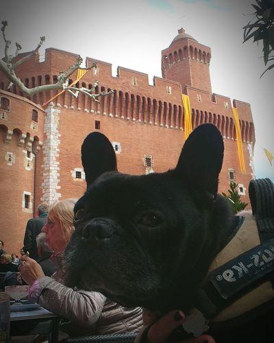Procession de la sanch Bulldog English Bulldog Bouledoguefrancais Perpignan Catalunya Catalonia Is Not Spain Castle