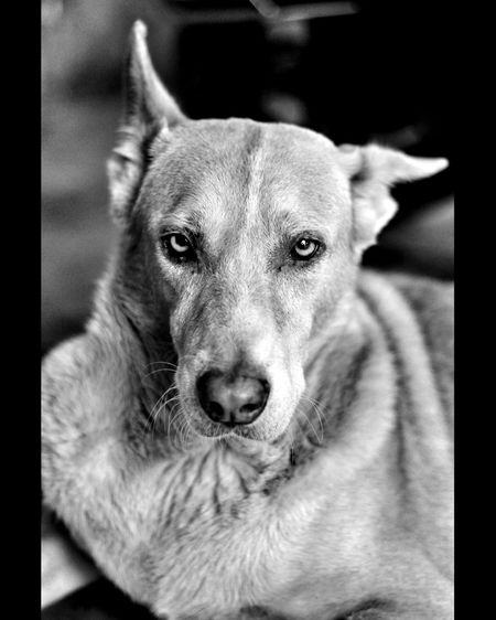 One Animal Dog Canine Animal Themes Mammal Domestic Animal Domestic Animals Pets Vertebrate Portrait Close-up Looking At Camera No People Transfer Print Animal Body Part Focus On Foreground Auto Post Production Filter Relaxation Indoors  Animal Head  Weimaraner