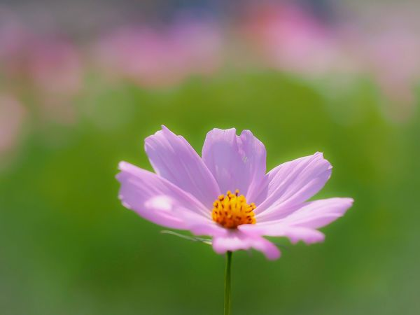 Flower Freshness Petal Fragility Flower Head Growth Stem Close-up Beauty In Nature Focus On Foreground In Bloom Purple Nature Plant Romantic Single Flower Blossom Botany Bloom From My Point Of View Flower Collection Cosmos Olympus EyeEm Nature Lover EyeEm Masterclass