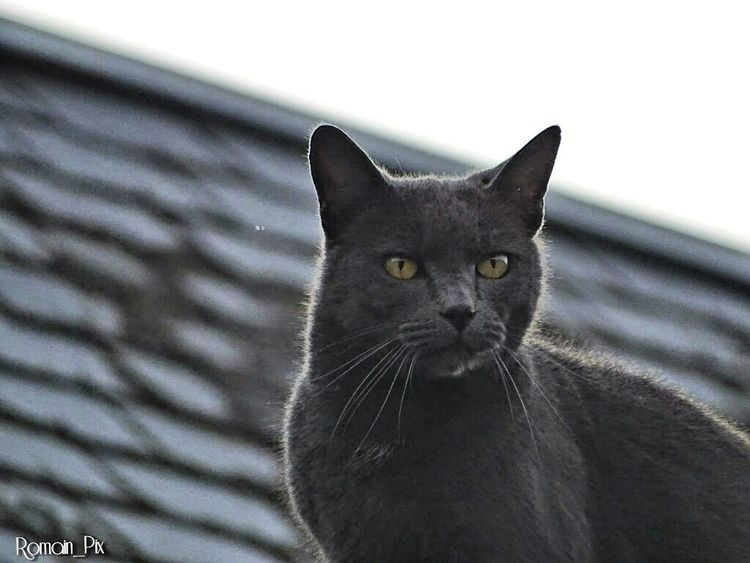 Domestic Cat Pets Feline Domestic Animals One Animal Black Color Animal Themes Mammal Portrait Looking At Camera Whisker No People Close-up Collar Day Outdoors