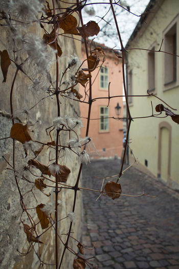 Architecture Building Exterior Built Structure Focus On Foreground Day No People Plant Leaf Nature Plant Part Dry Branch Building Outdoors Tree Close-up Growth Wall - Building Feature Residential District Autumn Change Leaves Streetphotography Street Photography Street Prague